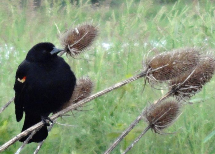 Ridgefield National Wildlife Refuge Greeting Card featuring the photograph Resting Red-winged Blackbird by Lizbeth Bostrom
