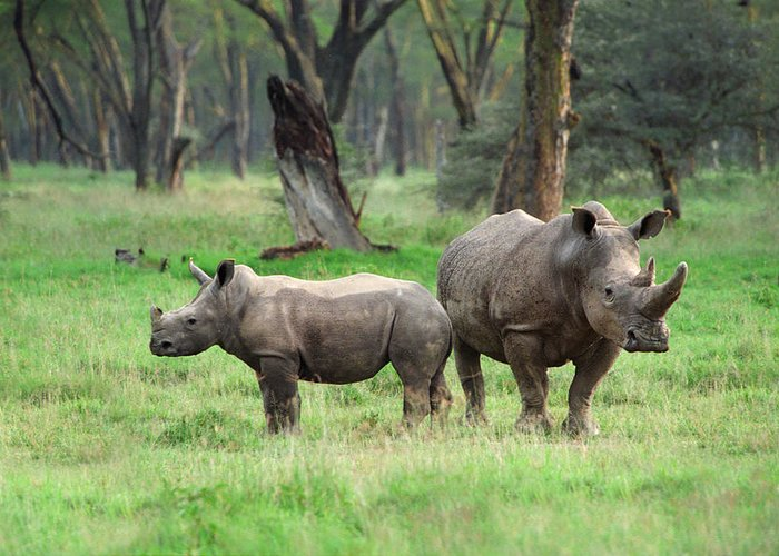 Africa Greeting Card featuring the photograph Rhino Family by Sebastian Musial