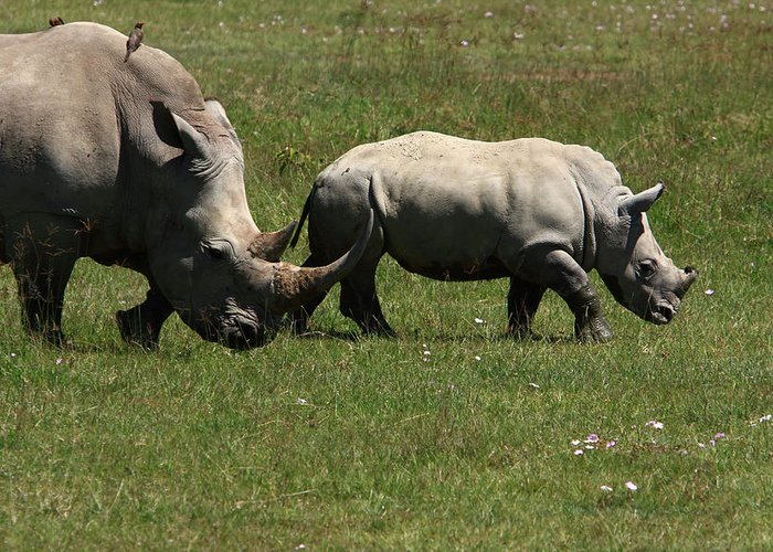 Rhinoceros Greeting Card featuring the photograph Rhinoceros by Aidan Moran
