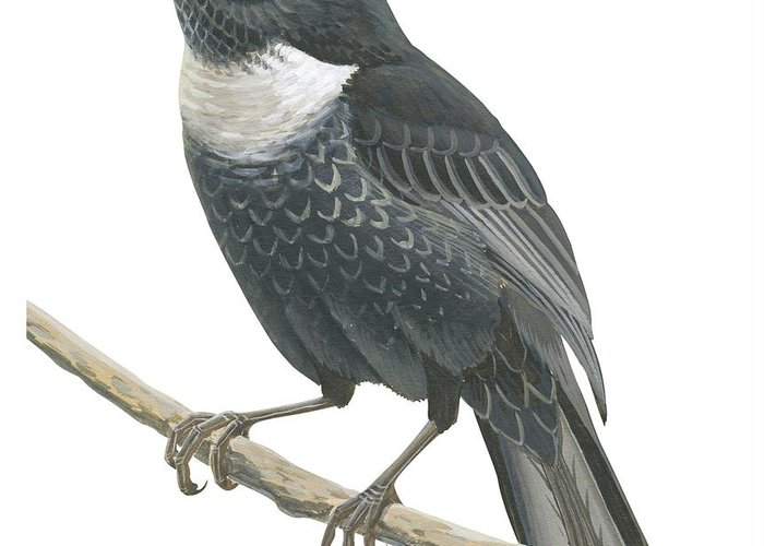 No People; Square Image; Side View; Full Length; One Animal; Animal Themes; Nature; Wildlife; Beauty In Nature; Ring-ouzel; Turdus Torquatus; Perching; Twig; Black; White Greeting Card featuring the drawing Ring Ouzel by Anonymous