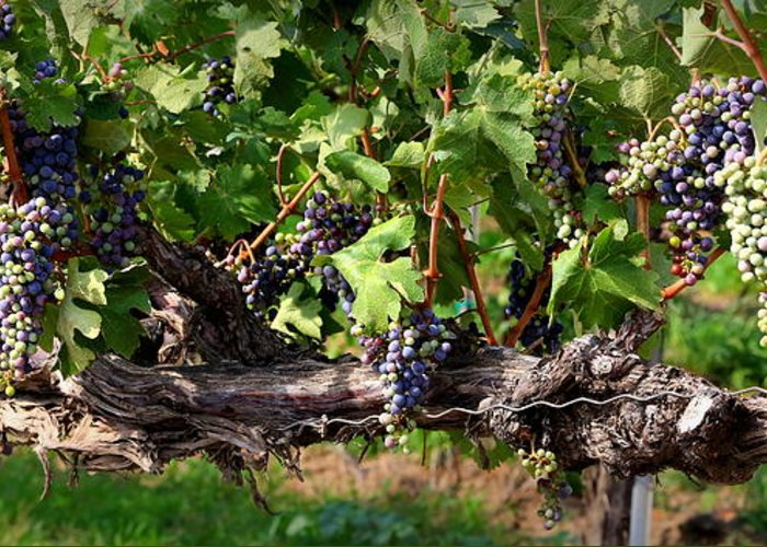 Grapes Greeting Card featuring the photograph Ripening Grapes by Carol Groenen