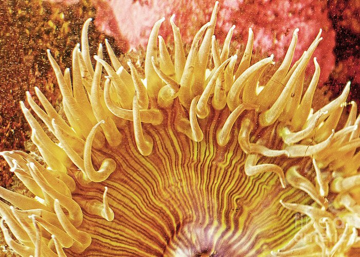 Sea Anenome Greeting Card featuring the photograph Rise And Shine Sea Anemone- Pictures Of Sea Creatures - Sea Anenome by Artist and Photographer Laura Wrede