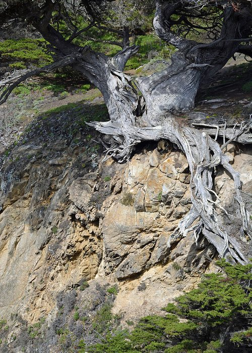 Point Lobos Greeting Card featuring the photograph Rooted On The Edge by Bruce Gourley