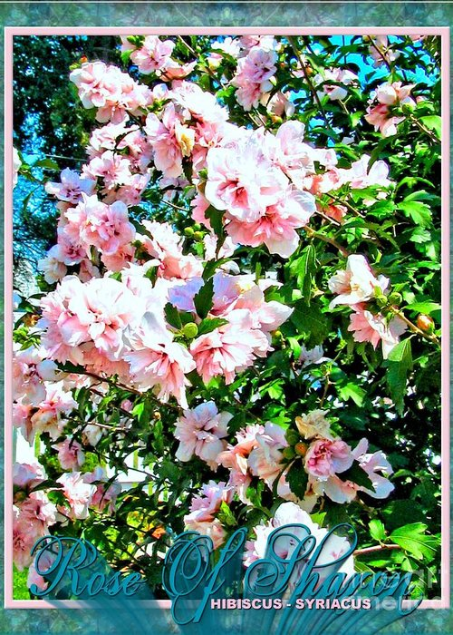 Rose Greeting Card featuring the photograph Rose Of Sharon -hibiscus Syriacus by Margaret Newcomb