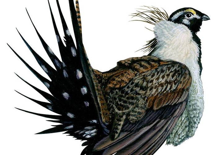 No People; Vertical; Side View; Full Length; White Background; One Animal; Wildlife; Illustration And Painting; Zoology; Close Up; Bird; Feather; Beak; Animal Pattern; Wing; Tail; Sage Grouse; Centrocercus Urophasianus Greeting Card featuring the drawing Sage Grouse by Anonymous
