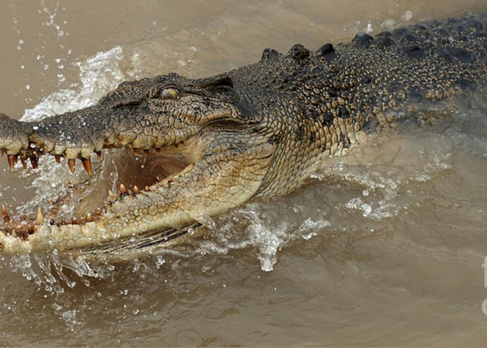 Crocodile Greeting Card featuring the photograph Saltwater Crocodile by Bob Christopher