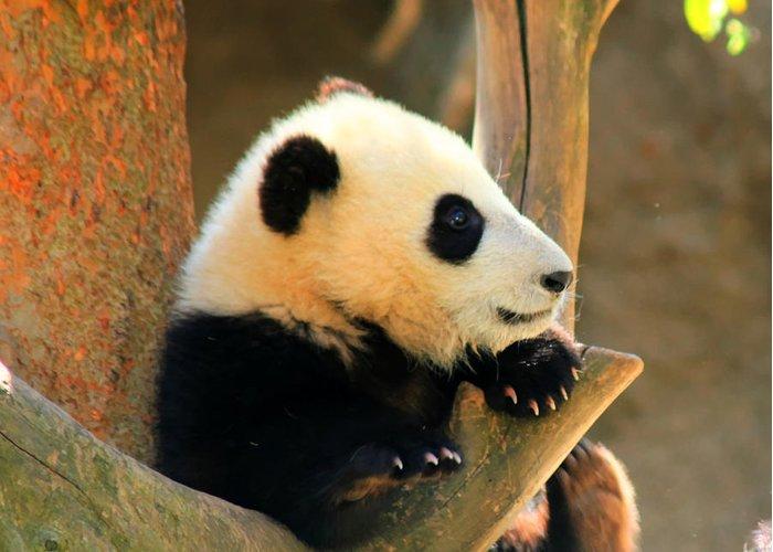 San Diego Zoo Panda Bear Xiao Liwu Greeting Card For Sale