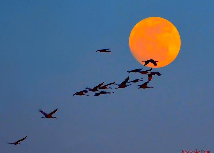 Sandhill Cranes Greeting Card featuring the photograph Sandhill Crane Migration by Julie Dant