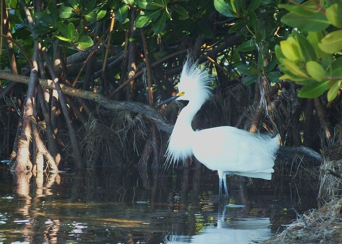 Snowy Egret Greeting Card featuring the photograph Sassy Snowy Egret by Anna Villarreal Garbis