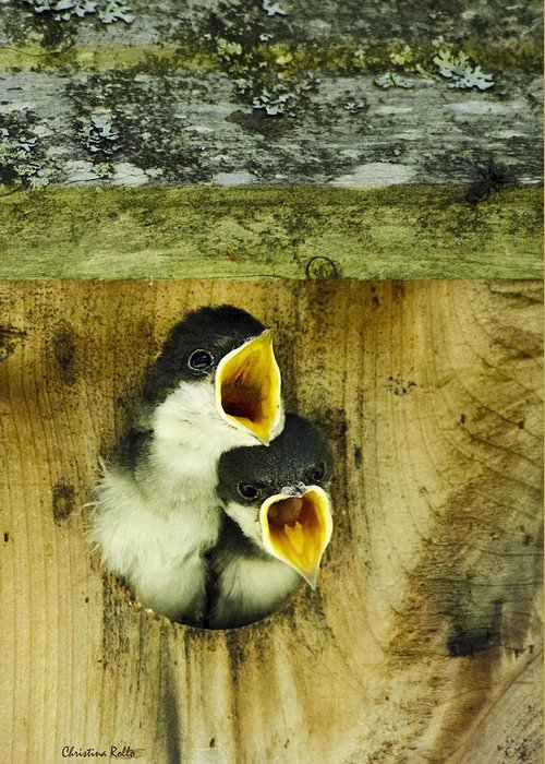 Bird Greeting Card featuring the photograph Screaming Hungry by Christina Rollo