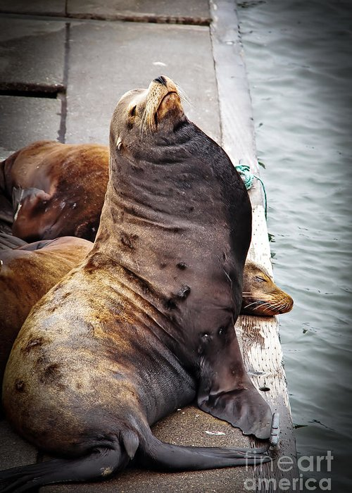 West Coast Greeting Card featuring the photograph Sea Lion by Robert Bales
