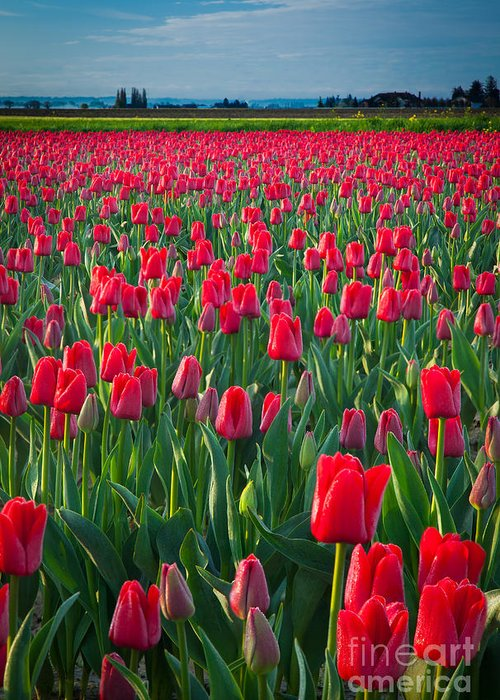 America Greeting Card featuring the photograph Sea Of Red Tulips by Inge Johnsson