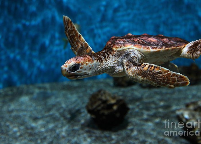 Fish Greeting Card featuring the photograph Sea Turtle 5d25083 by Wingsdomain Art and Photography
