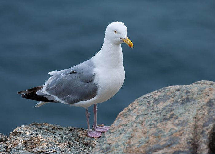 Acadia National Park Greeting Card featuring the photograph Seagull by Sebastian Musial