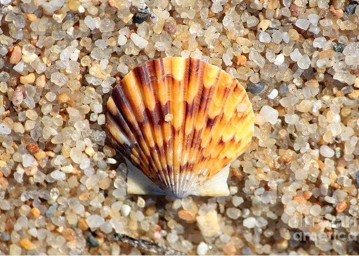 Beach Greeting Card featuring the photograph Seashell On Sandy Beach by Carol Groenen