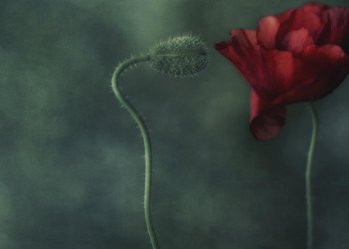 Poppy Greeting Card featuring the photograph Secret Affair by Priska Wettstein