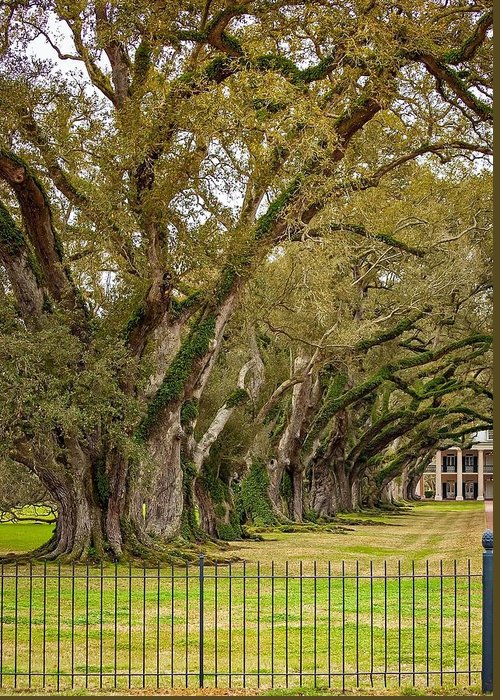 Oak Alley Plantation Greeting Card featuring the photograph Sentinels by Steve Harrington