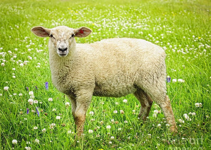 Sheep Greeting Card featuring the photograph Sheep In Summer Meadow by Elena Elisseeva