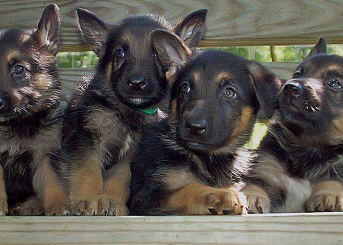 Animal.dog Greeting Card featuring the photograph Shepherd Pups 2 by Aimee L Maher Photography and Art Visit ALMGallerydotcom