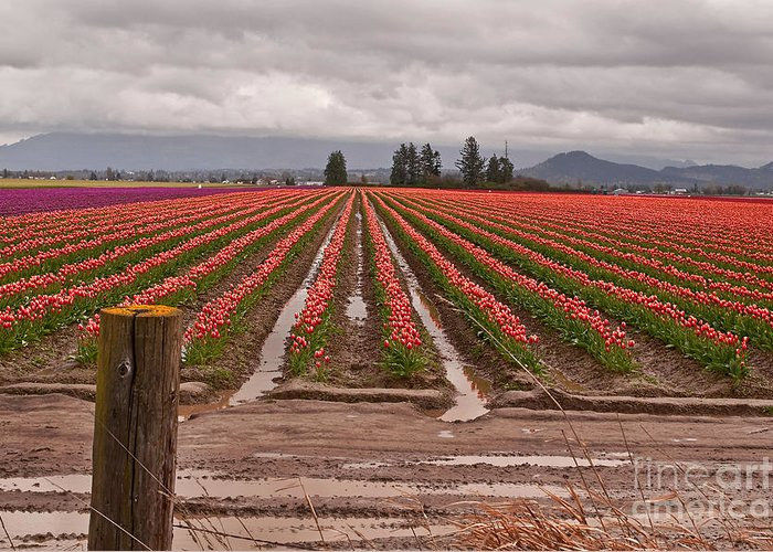 Agriculture Greeting Card featuring the photograph Skagit Valley Tulip Farmlands In Spring Storm by Valerie Garner