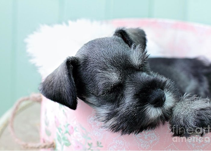 Miniature Greeting Card featuring the photograph Sleeping Mini Schnauzer by Stephanie Frey