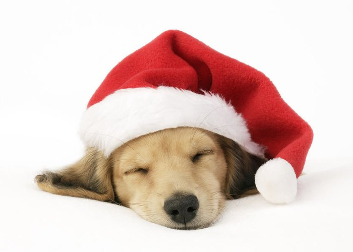 Chris Greeting Card featuring the photograph Sleeping Santa Puppy by Greg Cuddiford