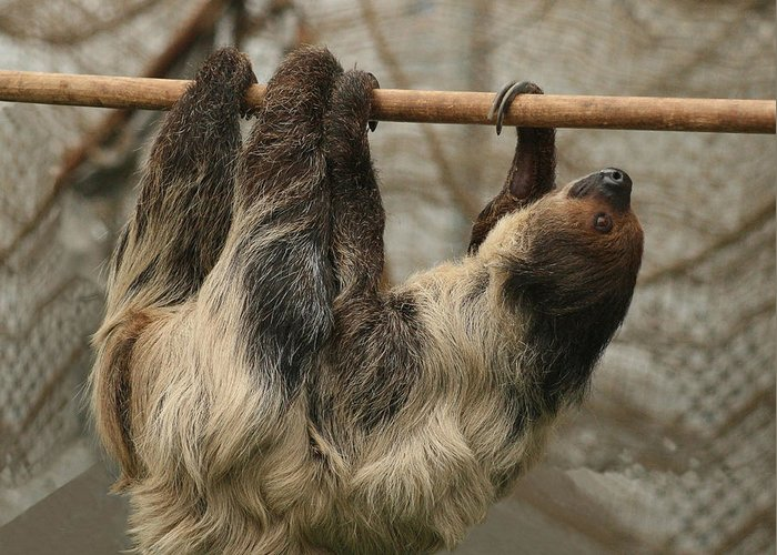 Sloth Greeting Card featuring the photograph Sloth by Ellen Henneke