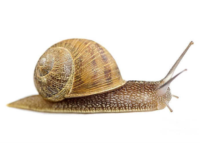 Snail Greeting Card featuring the photograph Snail by Elena Elisseeva