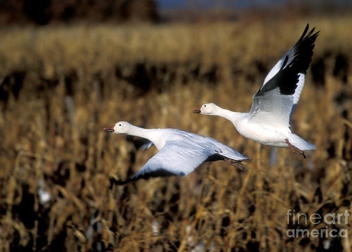 Bosque Greeting Card featuring the photograph Snow Geese by Steven Ralser