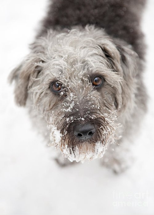 Pup Greeting Card featuring the photograph Snowy Faced Pup by Natalie Kinnear
