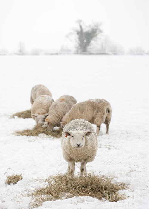 2013 Greeting Card featuring the photograph Snowy Sheep by Anne Gilbert