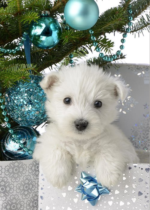 West Greeting Card featuring the photograph Snowy White Puppy Present by Greg Cuddiford