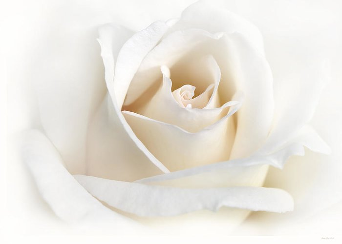 Rose Greeting Card featuring the photograph Soft Ivory Rose Flower by Jennie Marie Schell