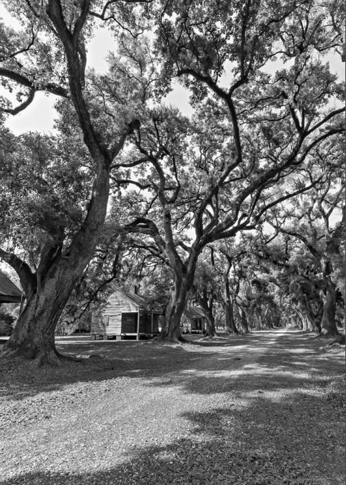 Evergreen Plantation Greeting Card featuring the photograph Southern Lane Monochrome by Steve Harrington