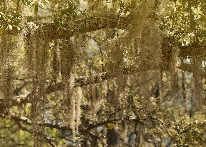 Spanish Greeting Card featuring the photograph Spanish Moss On Live Oaks by Christine Till