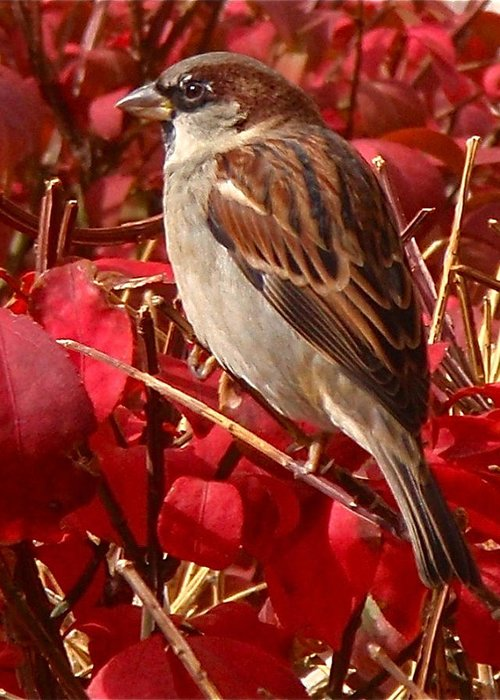 Sparrow Greeting Card featuring the photograph Sparrow by Rona Black