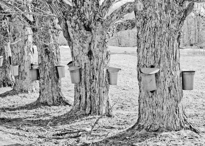 Angelic Maine Maple Syrup Maine Living Country Love Colors Gold Green Brown White Black Silver Metal Buckets Heavenly Hope Rockport Tap Tree Branch Liquid Money Maker In Maine Sky Holes Landscape Spring In Maine Black And White Greeting Card featuring the photograph Spring In Maine by Melanie Leo