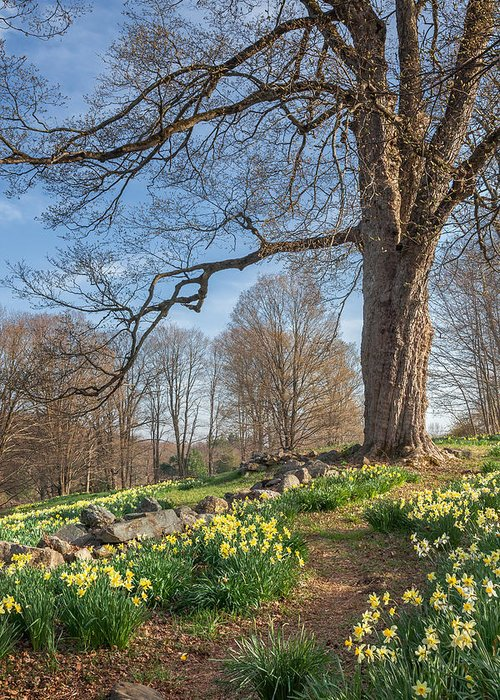 Daffodil Greeting Card featuring the photograph Spring Path by Bill Wakeley