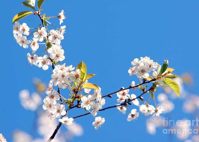 Background Greeting Card featuring the photograph Spring Tree by Michal Bednarek