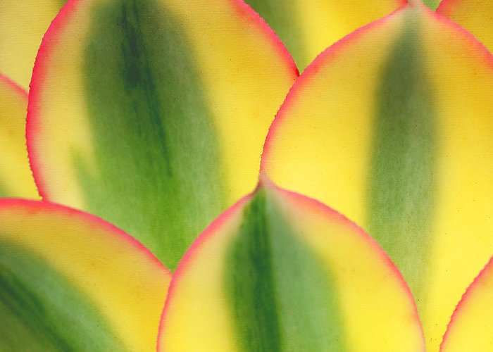 Succulent Plant Aeonium Decorum Cv. Sunburst Greeting Card featuring the photograph Stained Glass by Irina Wardas