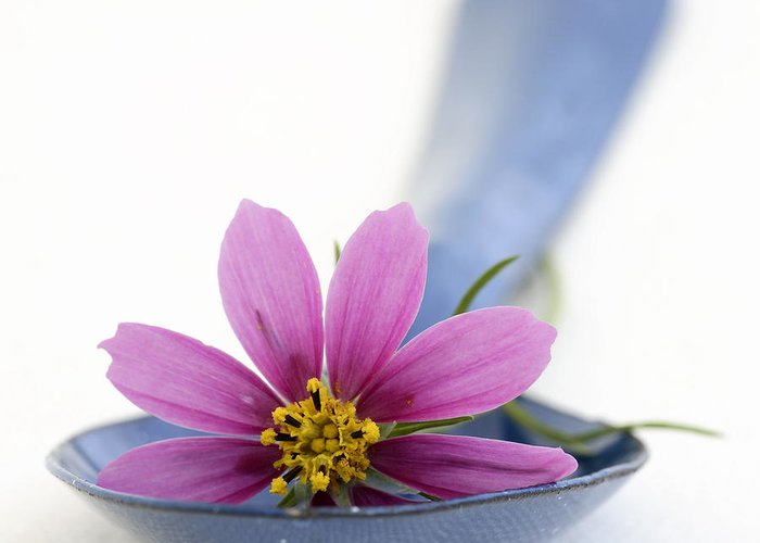 Frank Tschakert Greeting Card featuring the photograph Still Life With Pink Flower On A Blue Spoon by Frank Tschakert