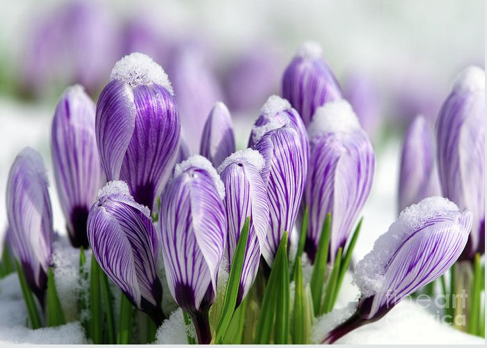 Purple Crocuses Greeting Card featuring the photograph Striped Purple Crocuses In The Snow by Sharon Talson