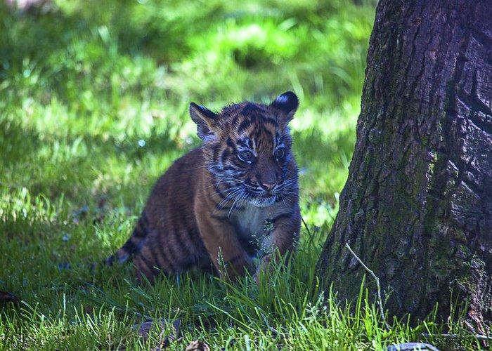 Sumatran Greeting Card featuring the photograph Sumatran Tiger Cub by Garry Gay