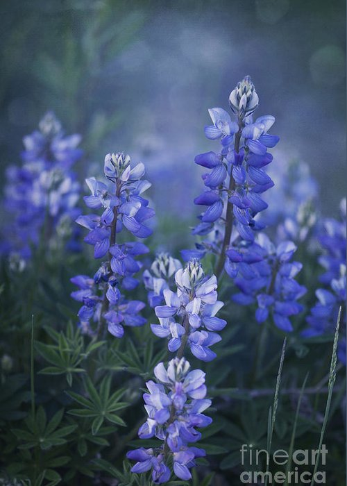 Lupin Greeting Card featuring the photograph Summer Dream by Priska Wettstein
