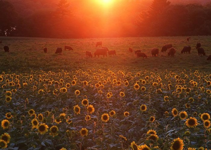 Sunflowers Greeting Card featuring the photograph Sundown On Buttonwood Farm by Andrea Galiffi