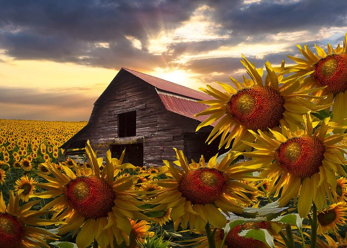 Barn Greeting Card featuring the photograph Sunflower Dance by Debra and Dave Vanderlaan