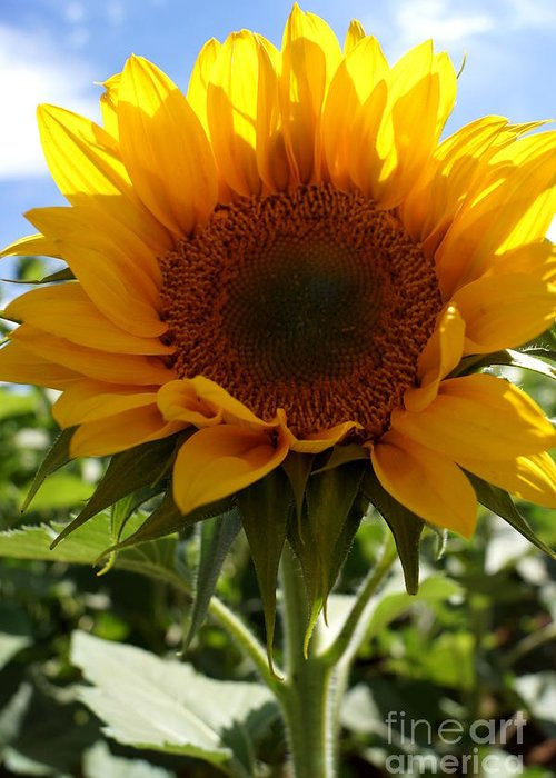 Agriculture Greeting Card featuring the photograph Sunflower Highlight by Kerri Mortenson