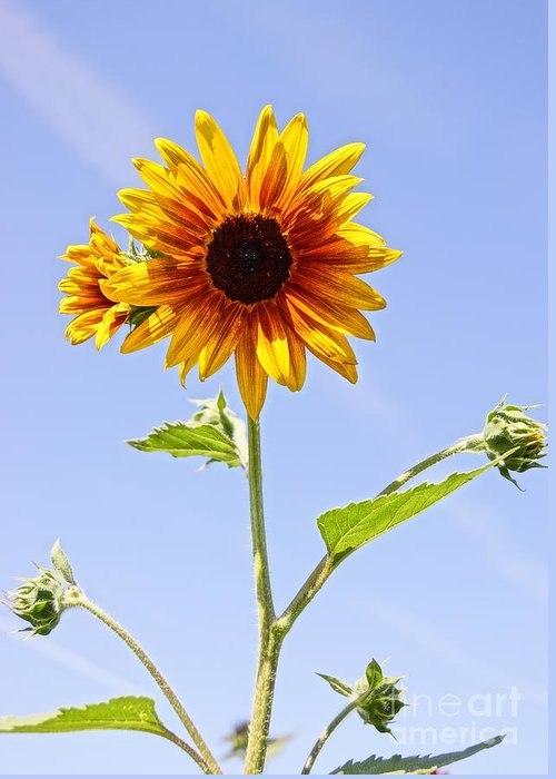 Agriculture Greeting Card featuring the photograph Sunflower In The Sky by Kerri Mortenson