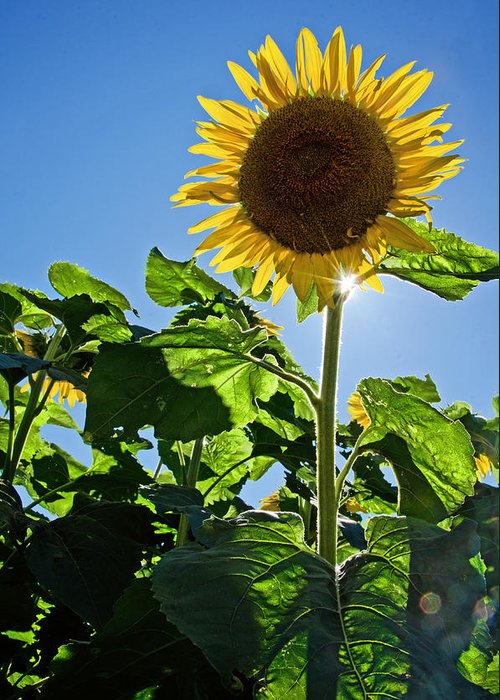 Sunflower Greeting Card featuring the photograph Sunflower With Sun by Donna Doherty