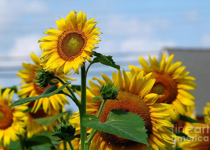 Sunflowers Greeting Card featuring the photograph Sunflowers 1 2013 by Edward Sobuta